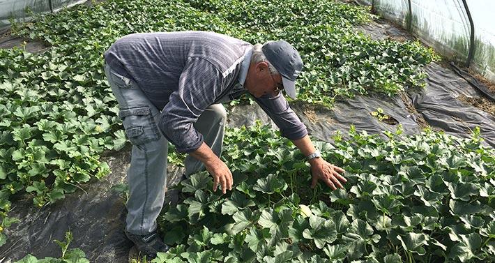 Az. Agr. Gianpaolo B di Bartoli Gabriella: papà Giuseppe in serra controlla piante di melone