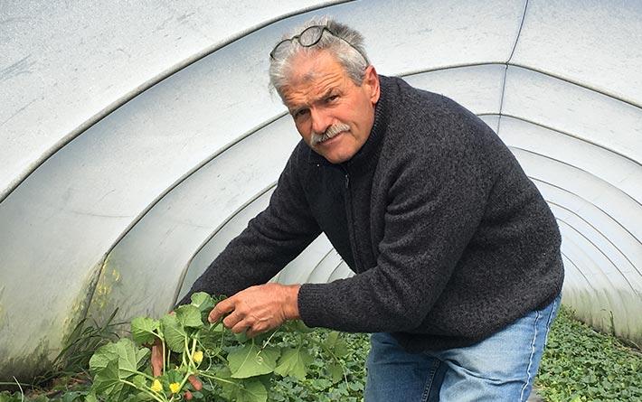 Azienda Agricola Torelli Mauro: Mauro in serra mostra piante di melone