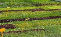 distesa di piante da orto, insalata da trapiantare