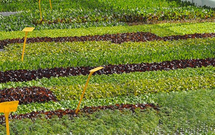 Azienda Orticola Codeluppi Pietro distesa di piante da orto: insalata.