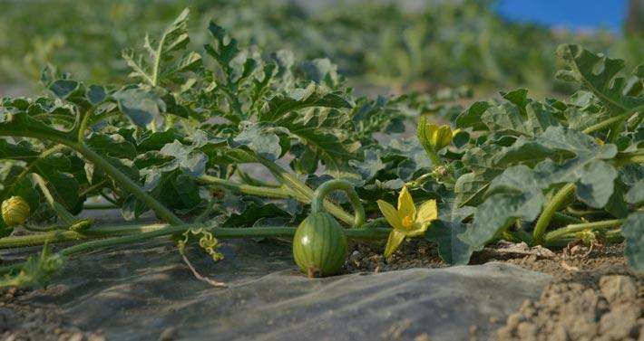 Società Agricola Brioni: pianta con anguria appena formata e fiori